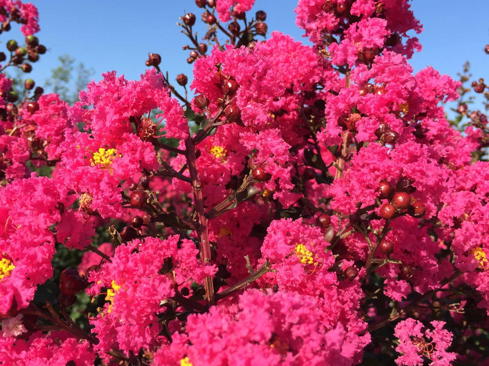 Crape myrtle tree 'Pink Velour' summer blooms