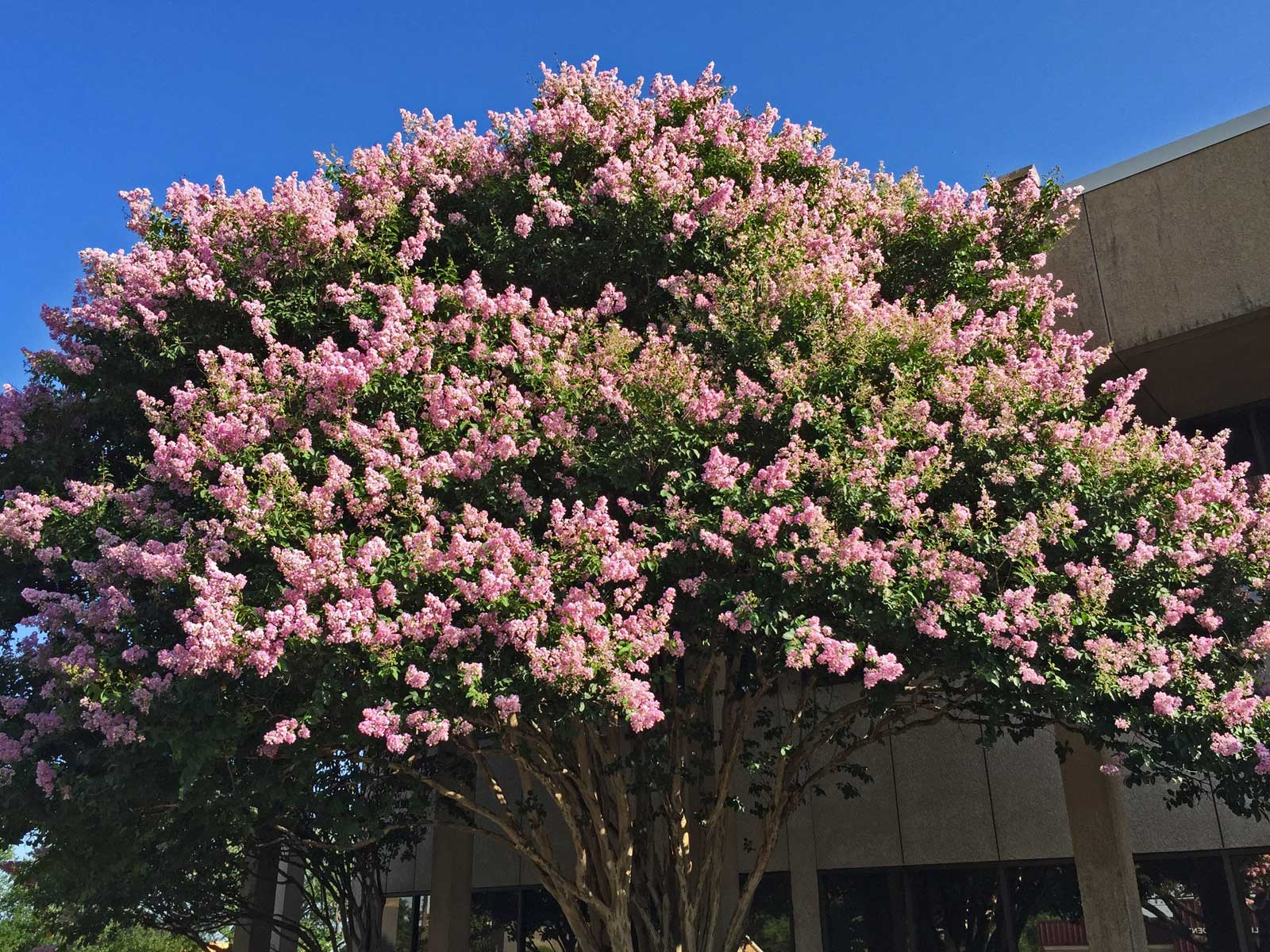 Crape myrtle 'Muskogee' with stately, beautiful light lavender bloom colors
