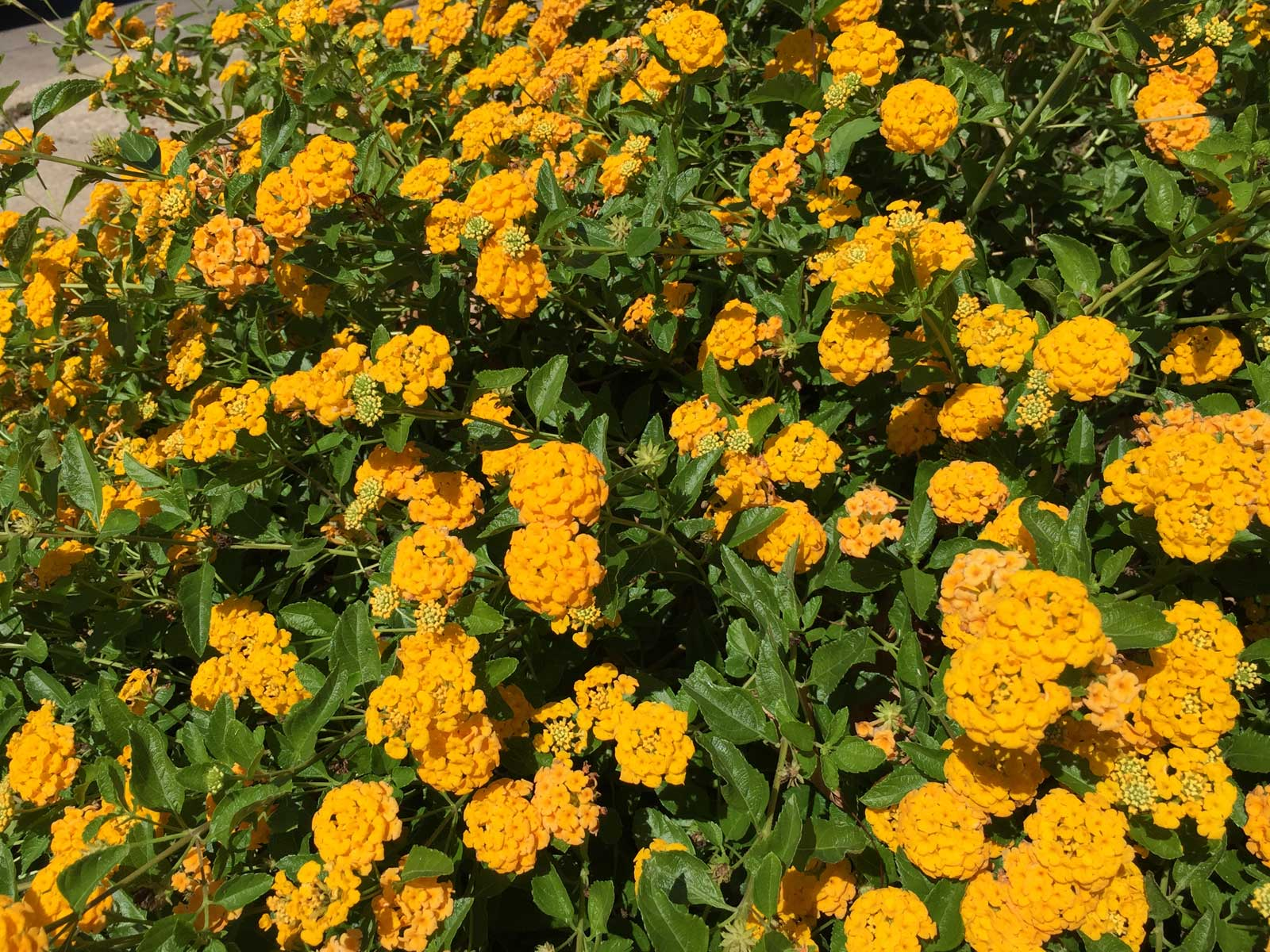 A summer and heat loving perennial, Lantana 'New Gold'