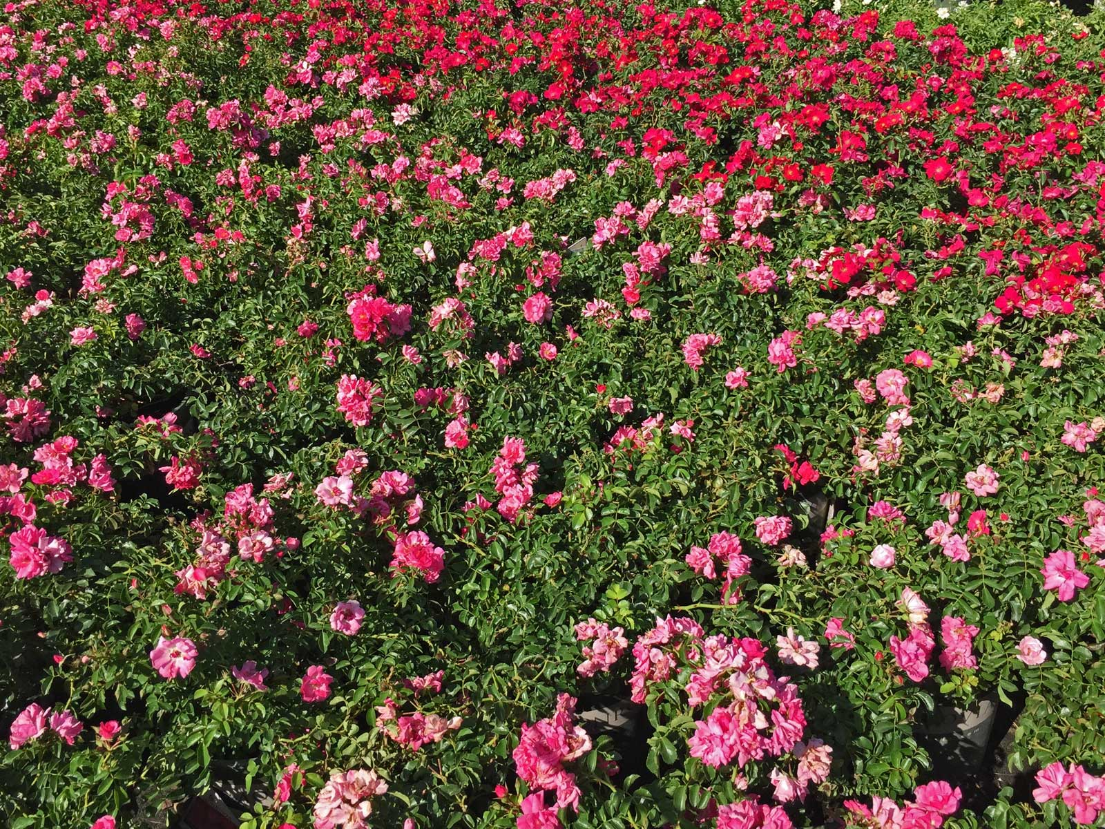 Drift groundcover roses are a low growing, summer splash of color.