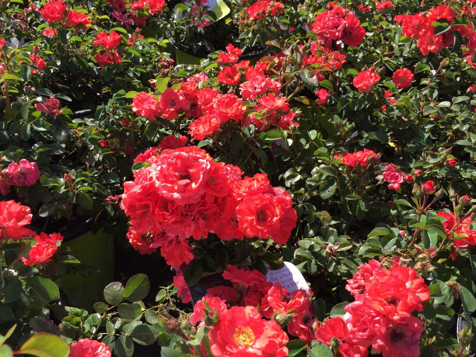 A low growing, disease resistant rose with a vivid coral bloom color.