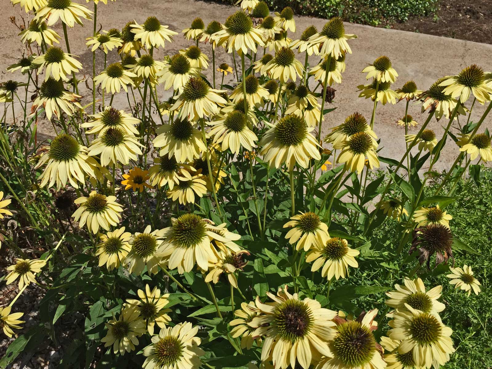 'Sunrise' is a delicate, pale yellow color that provides great contrast it the summer garden.