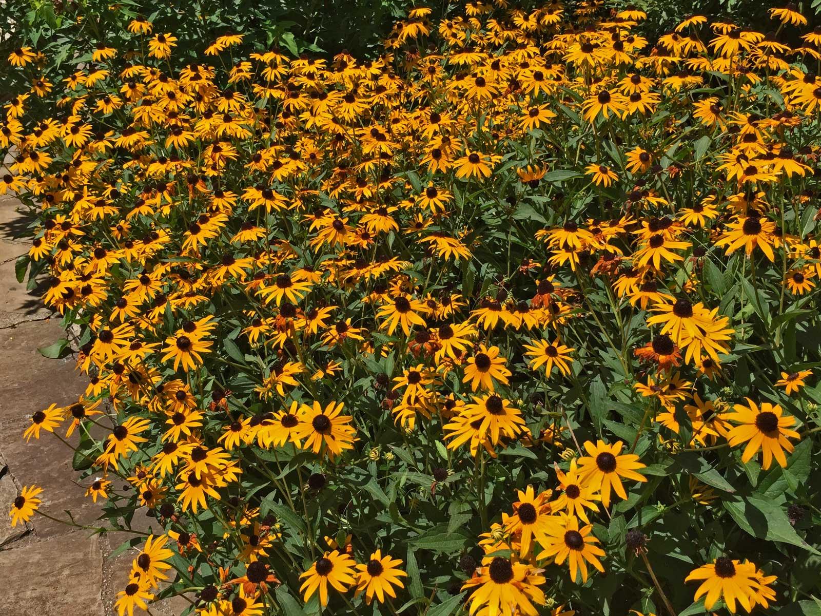 A summer staple for any garden. Balck-Eyed Susan (Rudbeckia triloba)