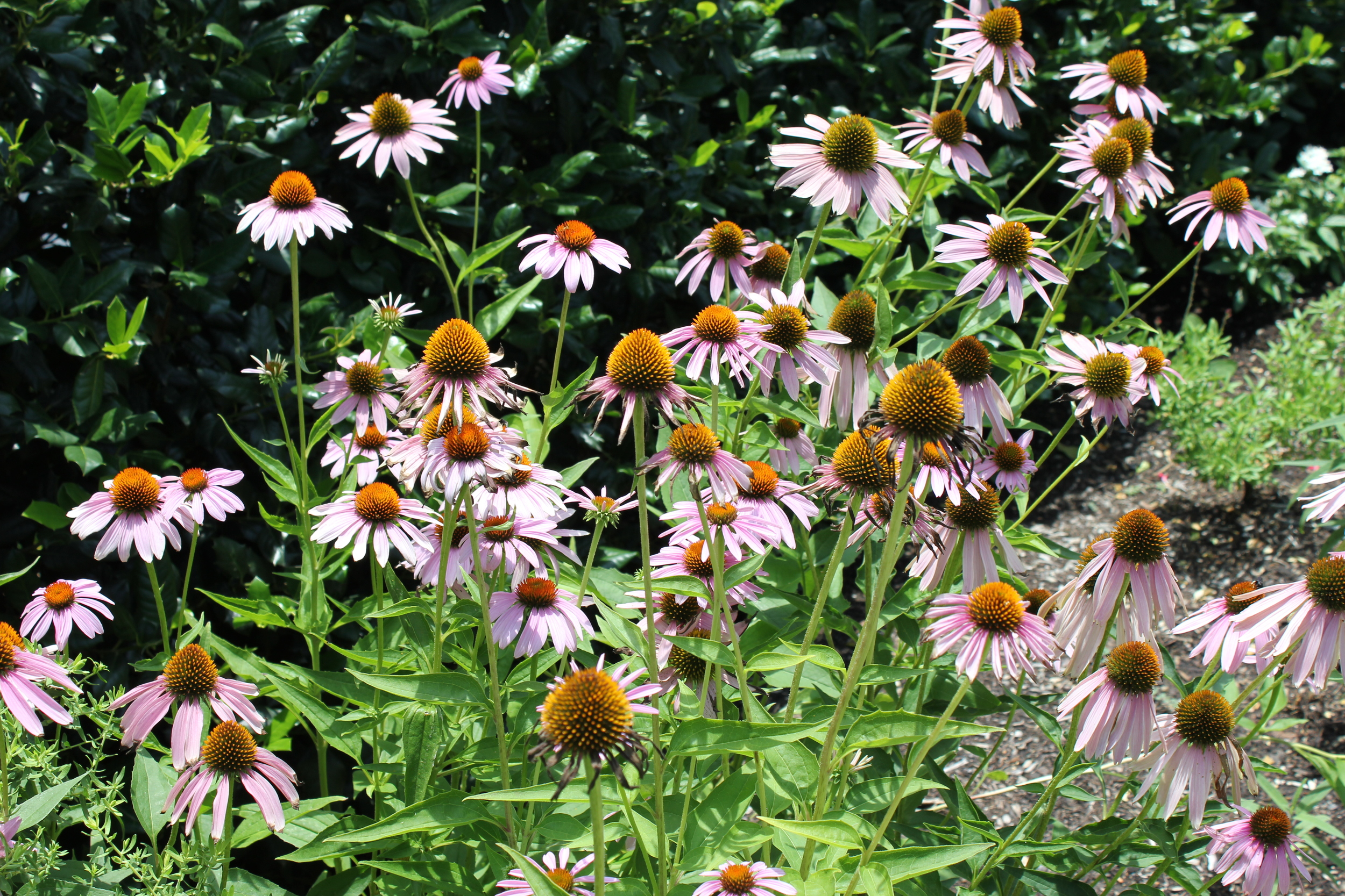 Purple coneflower perennial blooms throughout the summer.