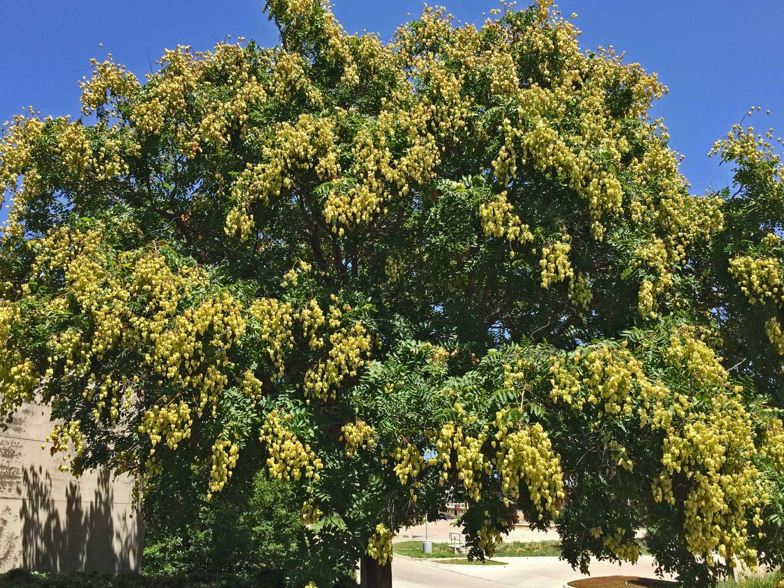 Golden Rain Tree has bright yellow, paper-like capsule blooms in summer.