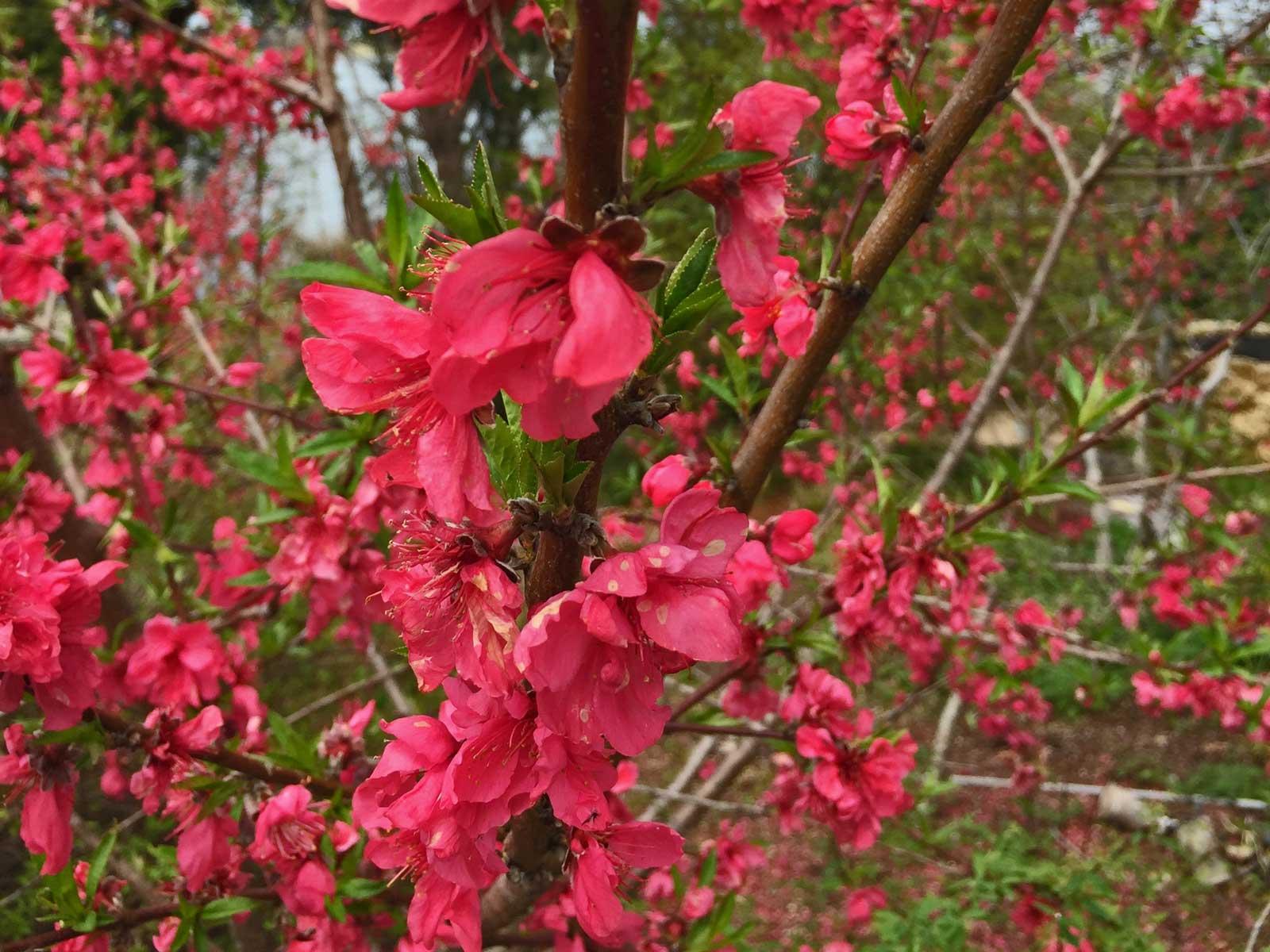 cherry tree 'kanhizakura' spring blooms