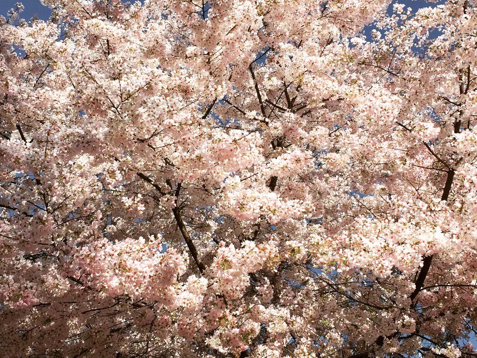 cherry tree 'yoshino'