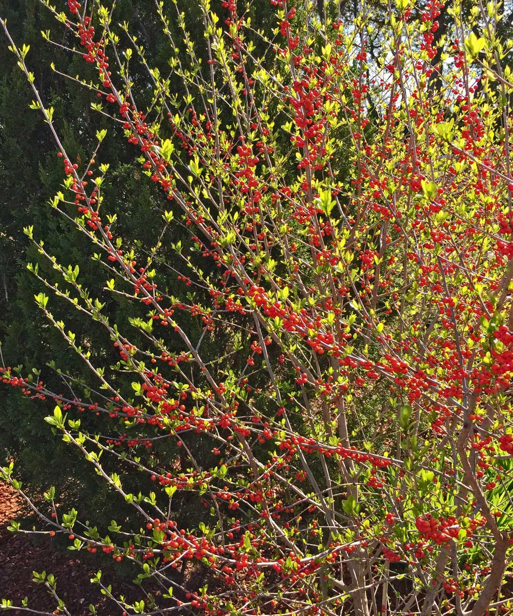 deciduous holly tree