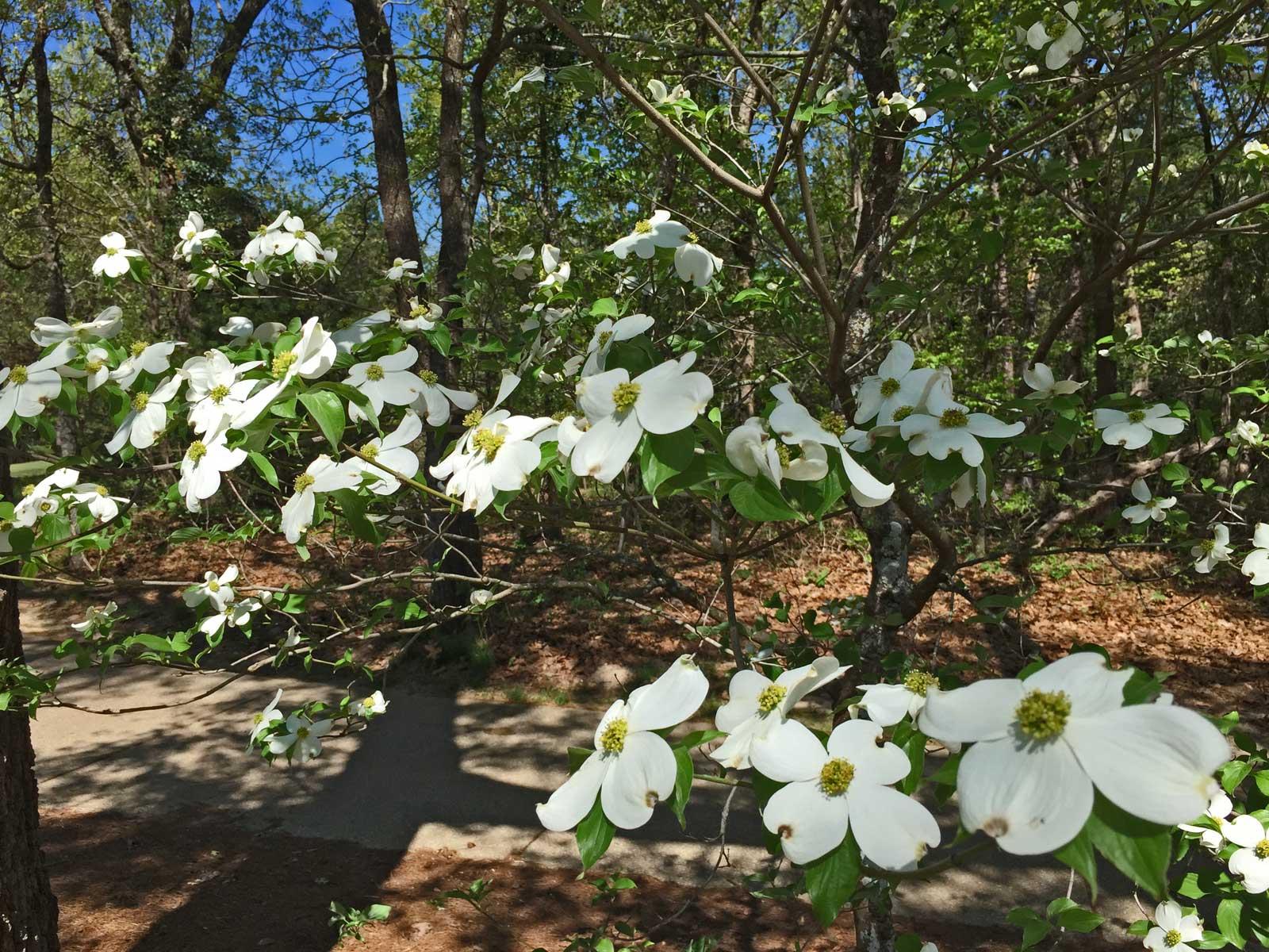 dogwood tree (cornus florida)