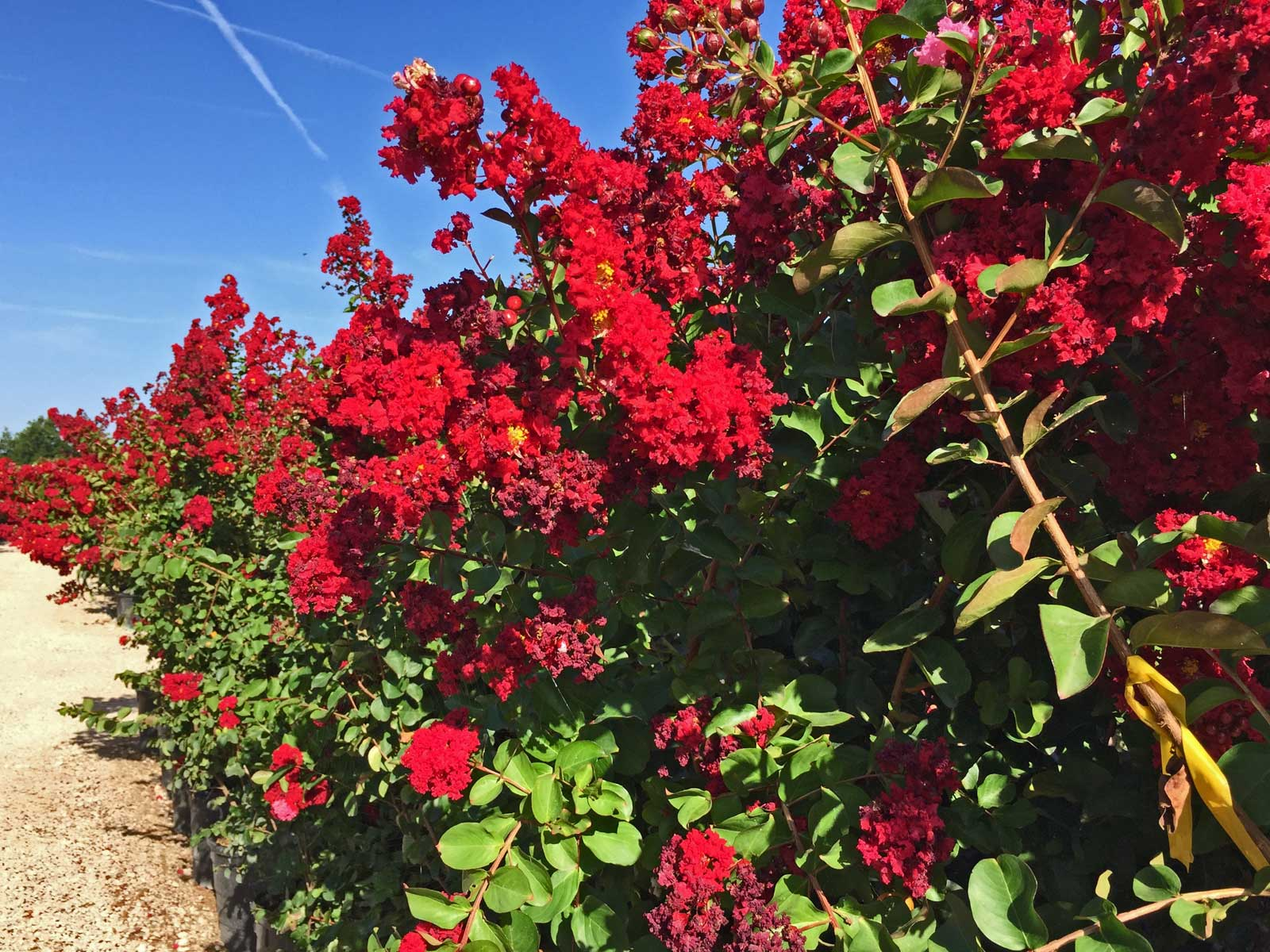 Crape Myrtle 'Dynamite' - A vibrant and deep red color blooms.