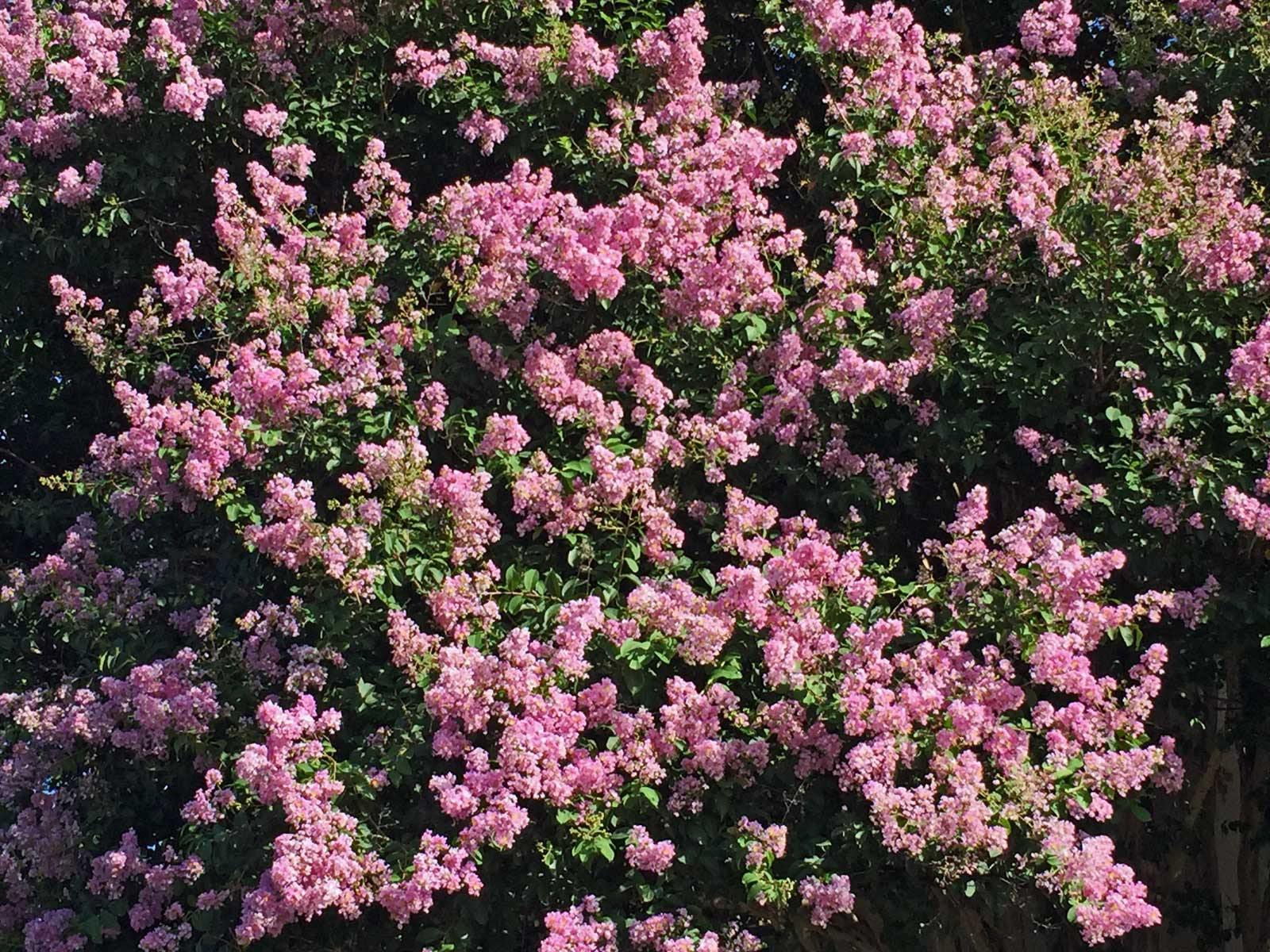 A closer view of the blooms of the 'Muskogee' Crape Myrtle.