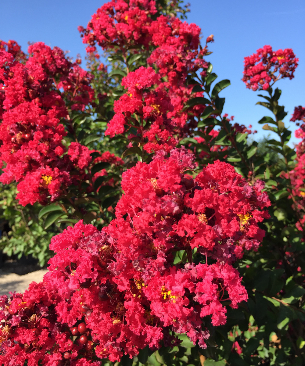 'Crape Myrtle 'Centennial Spirit' has a pinkish-red color bloom.
