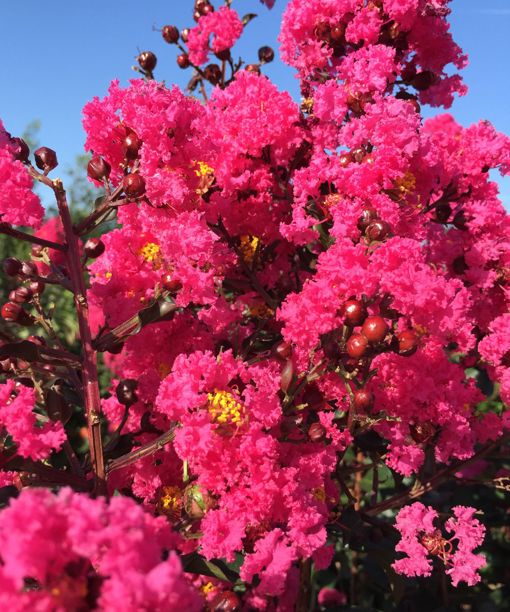 'Pink Velour' Crape Myrtle has a hot pink bloom color.