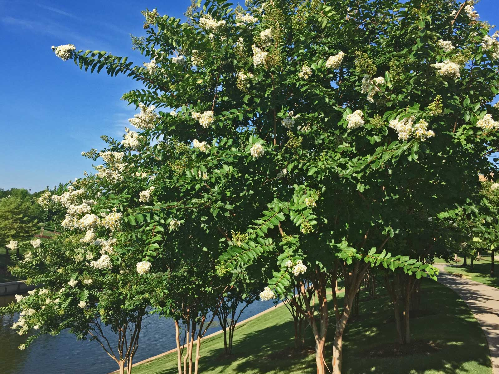 A grouping of 'Natchez' Crape Myrtles along the lakes at Vitruvian Park in Addison.
