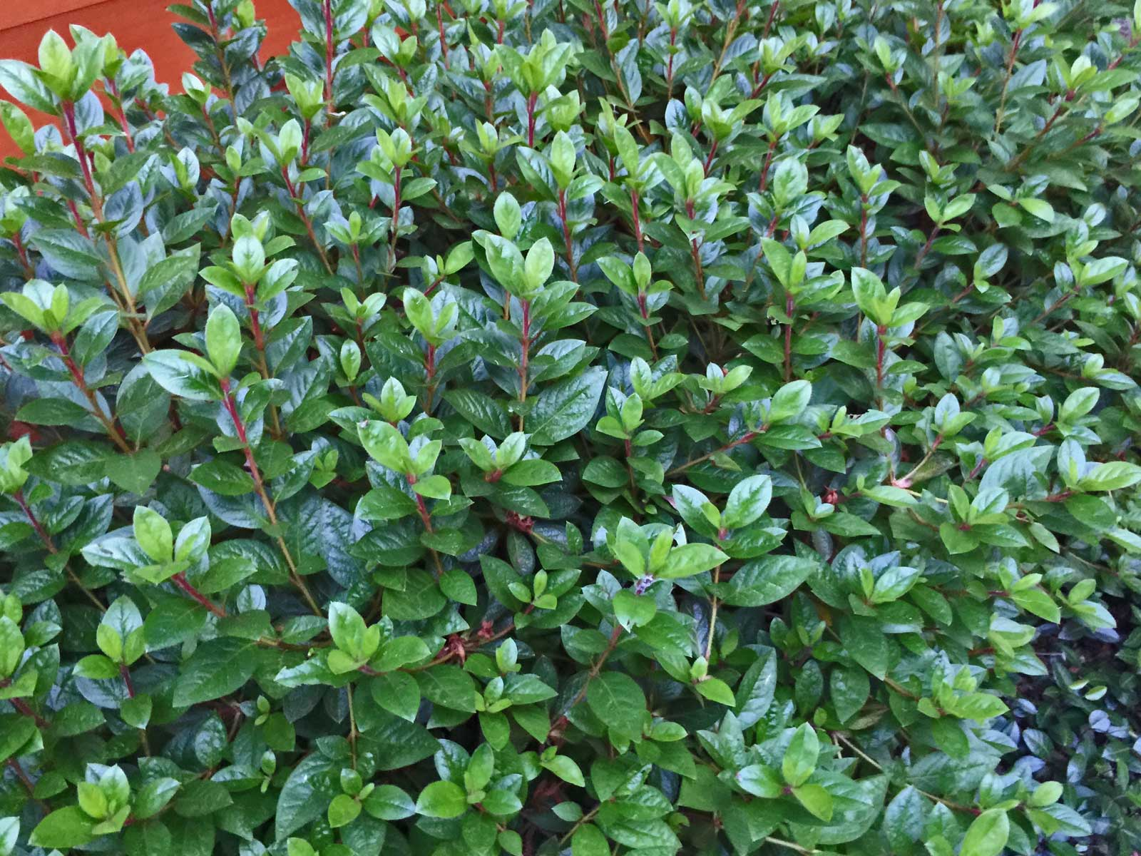 azalea evergreen leaves.jpg