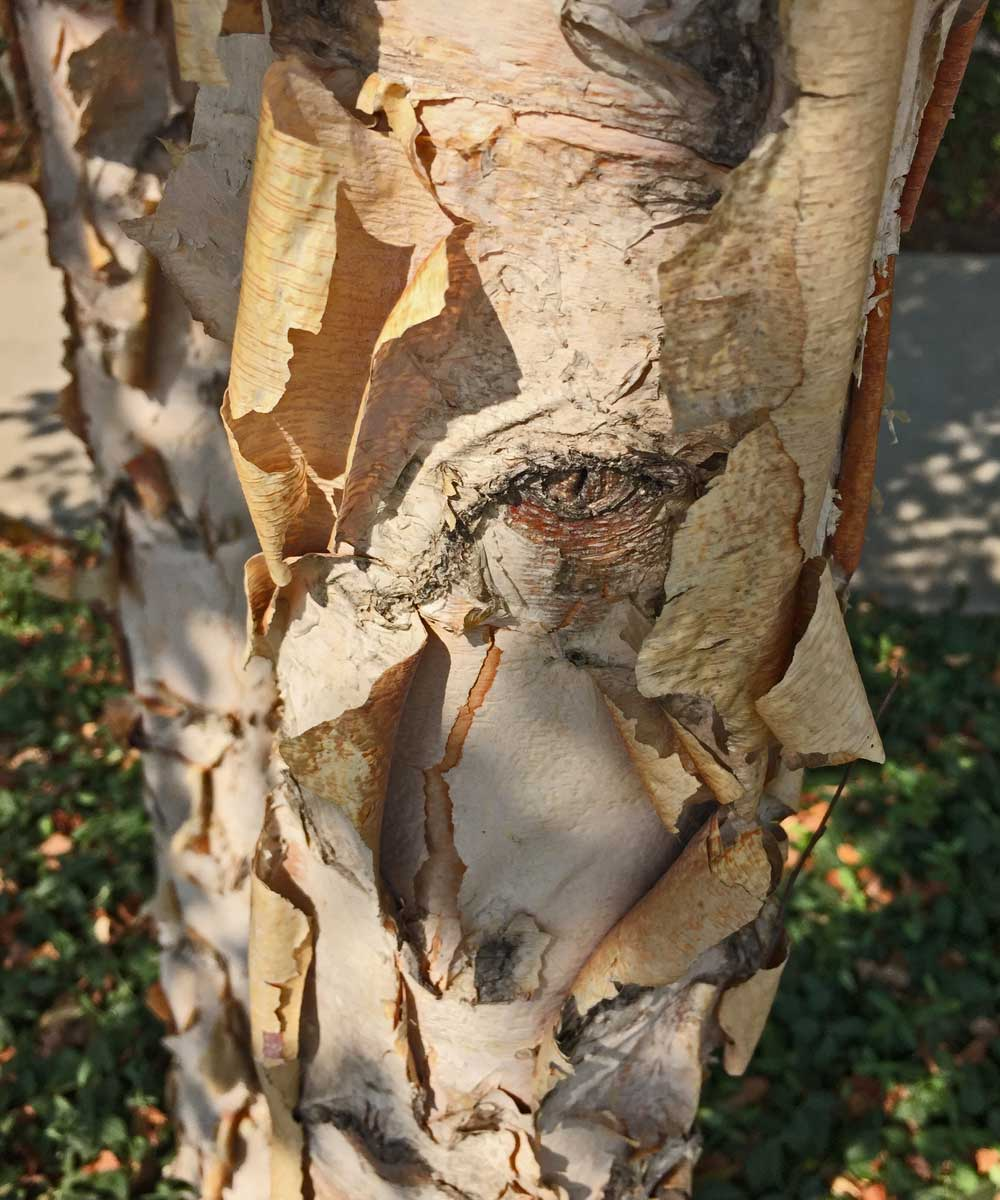 river-birch-tree-bark-texture