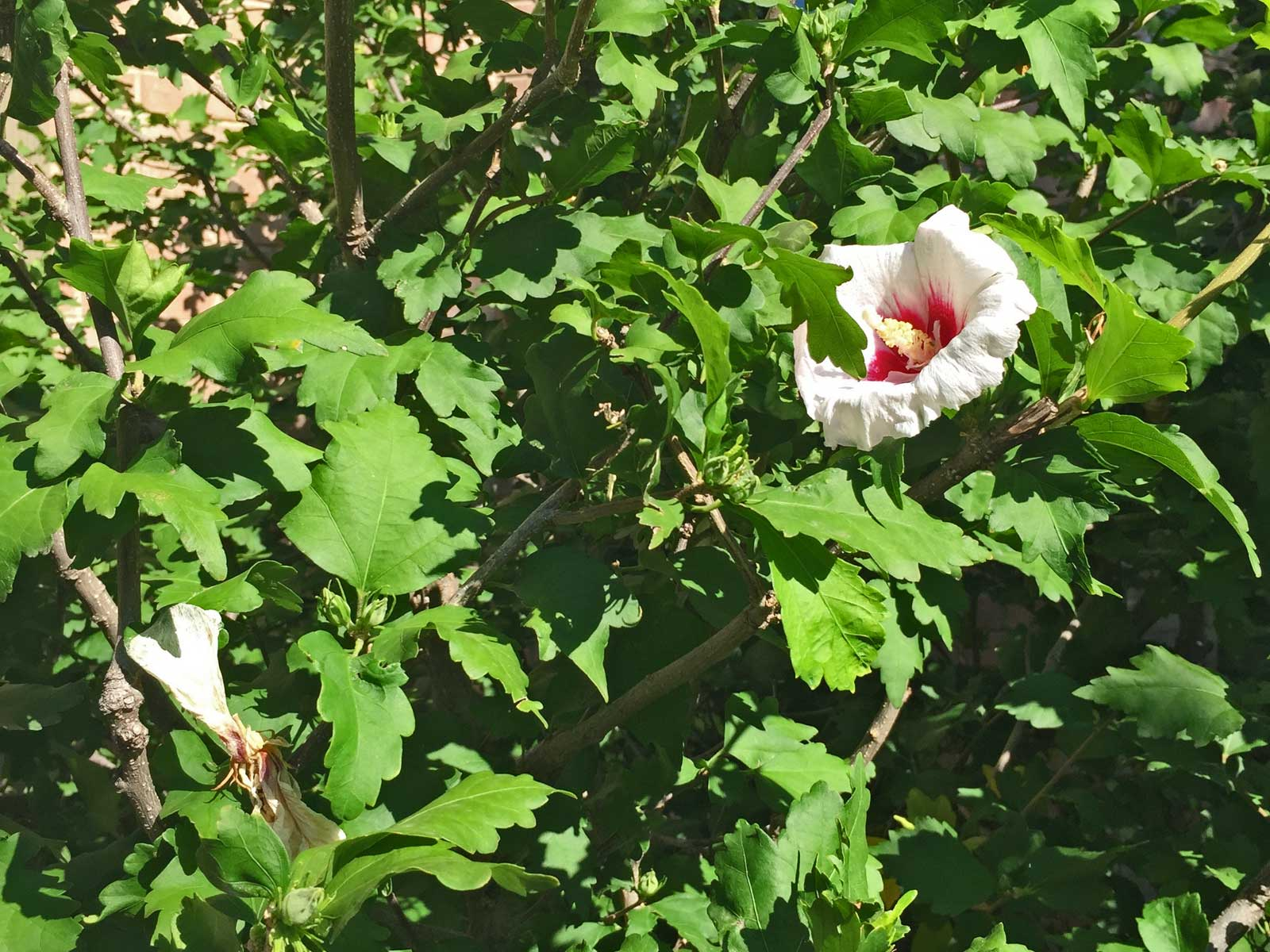 althea - rose of sharon
