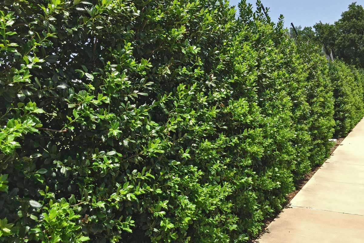 A nice, clipped Nellie R. Stevens holly hedge along a walkway.