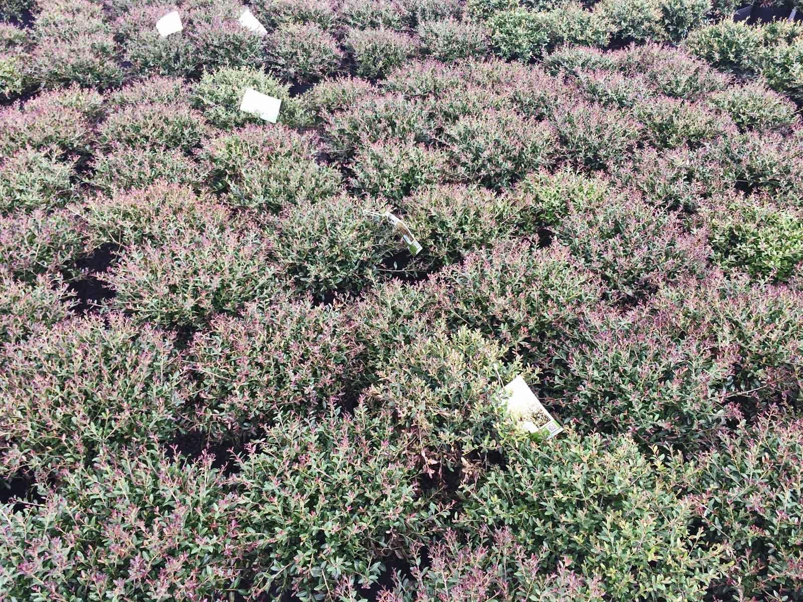 dwarf yaupon holly (ilex vomitoria 'bordeaux')