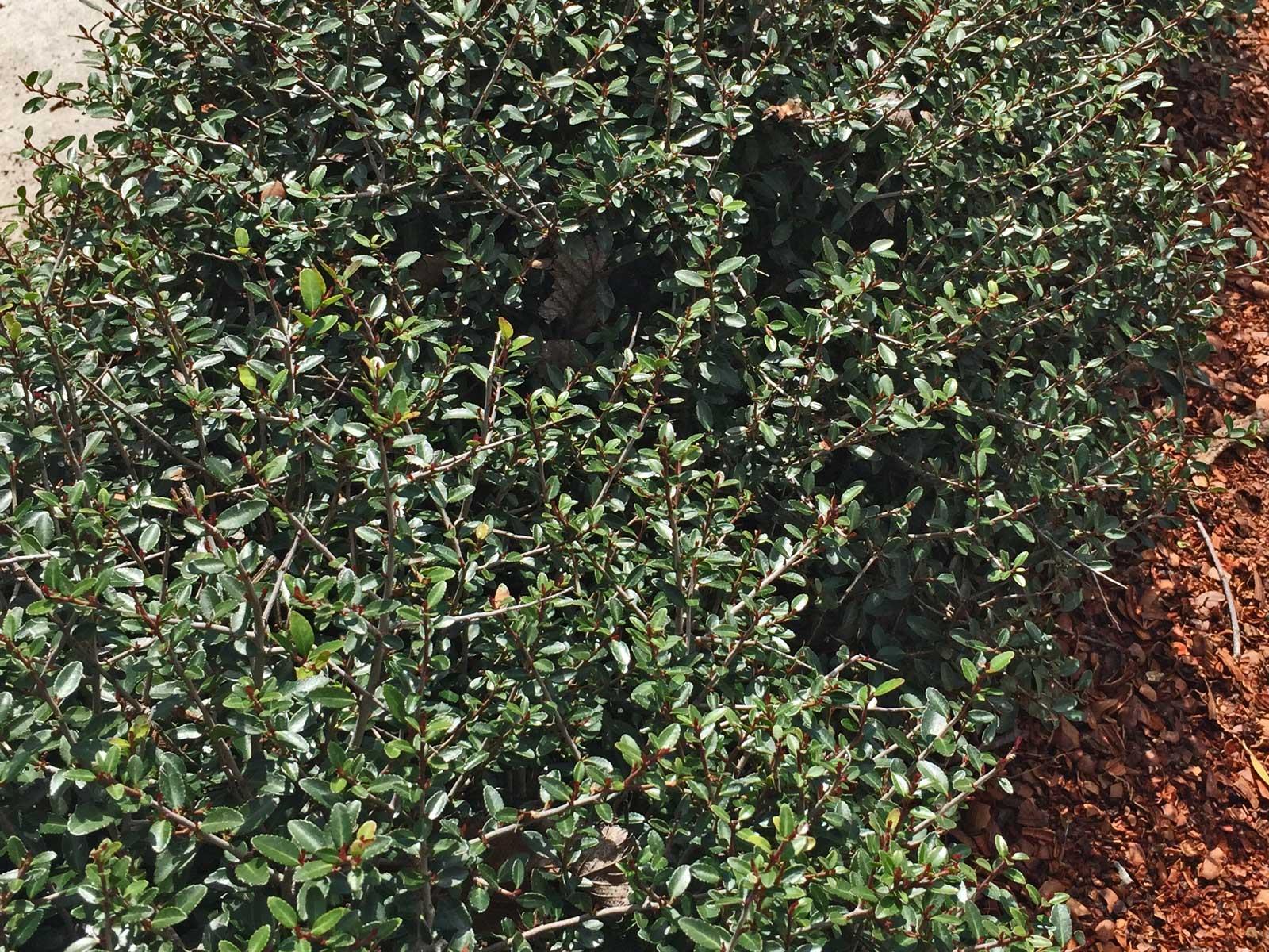 dwarf yaupon holly (ilex vomitoria 'nana')