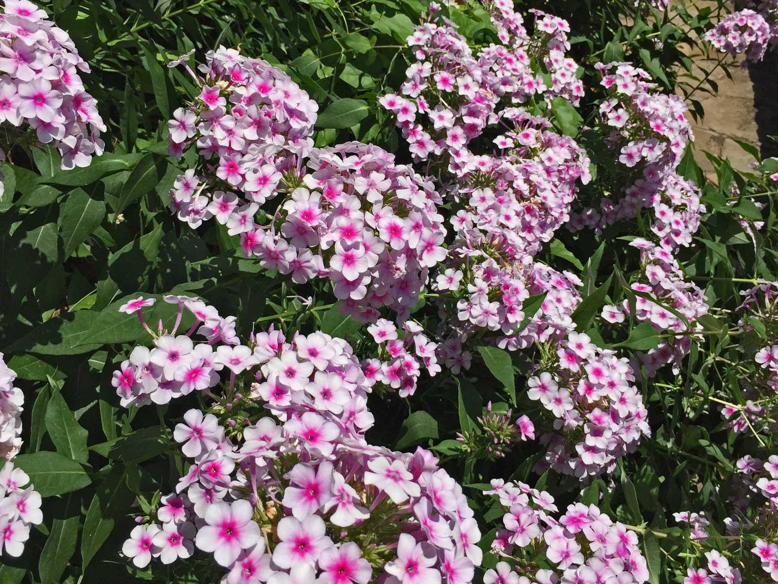 hydrangea shrub - hydrangea macrophylla spp.