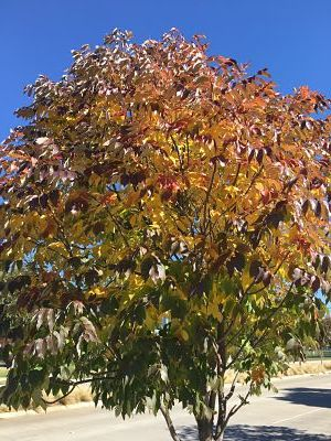 urbanite ash tree fall colors