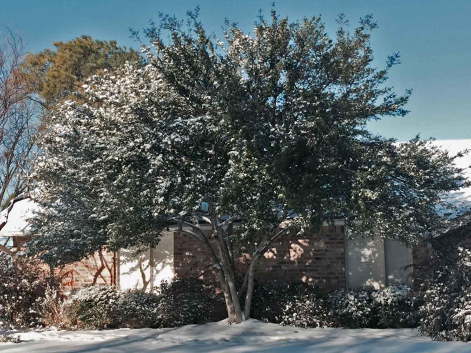 yaupon-holly-tree-winter-snow
