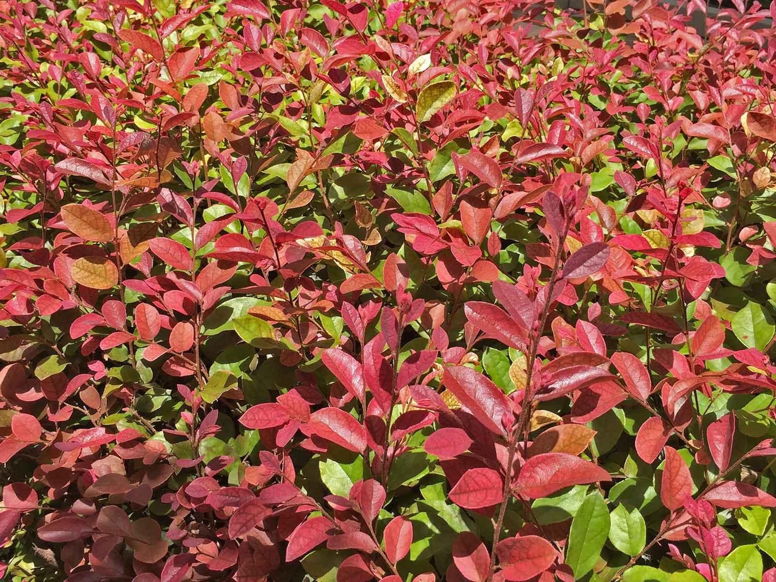 loropetalum-shrub-loropetalum-chinense