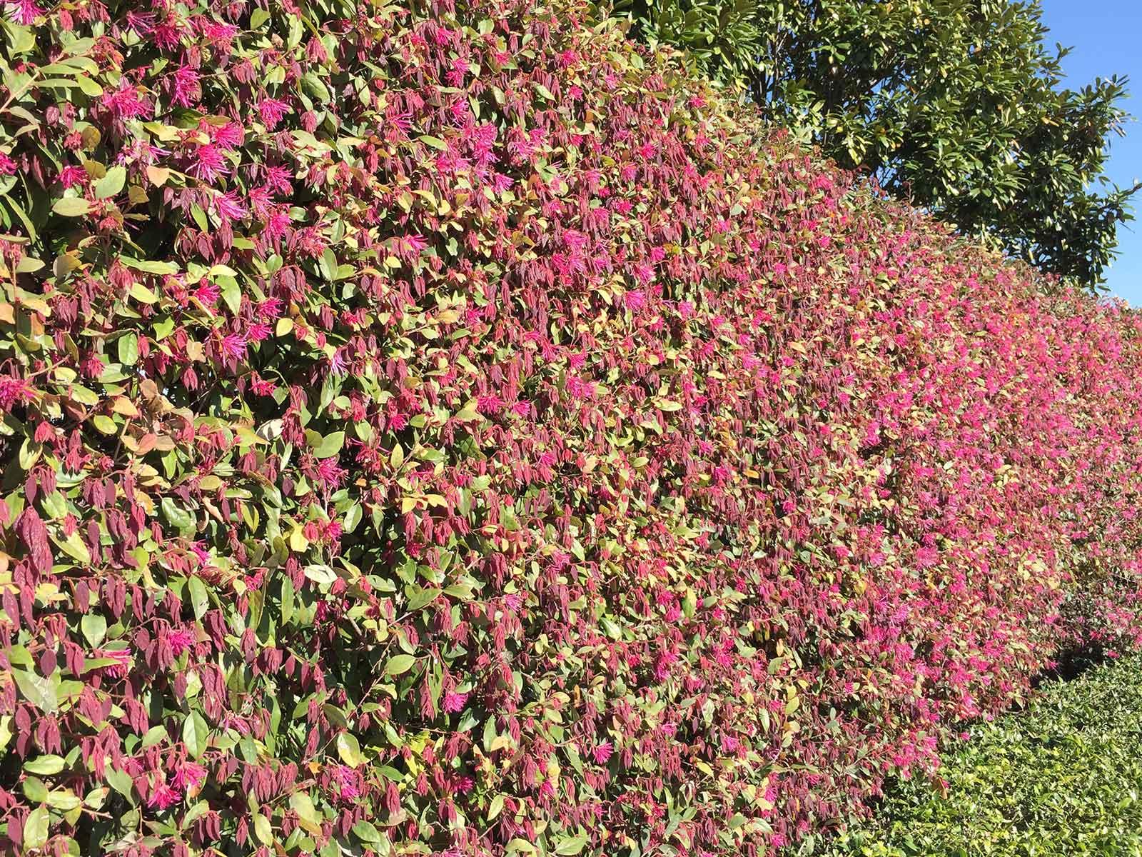 loropetalum-shrub-pink-blooms
