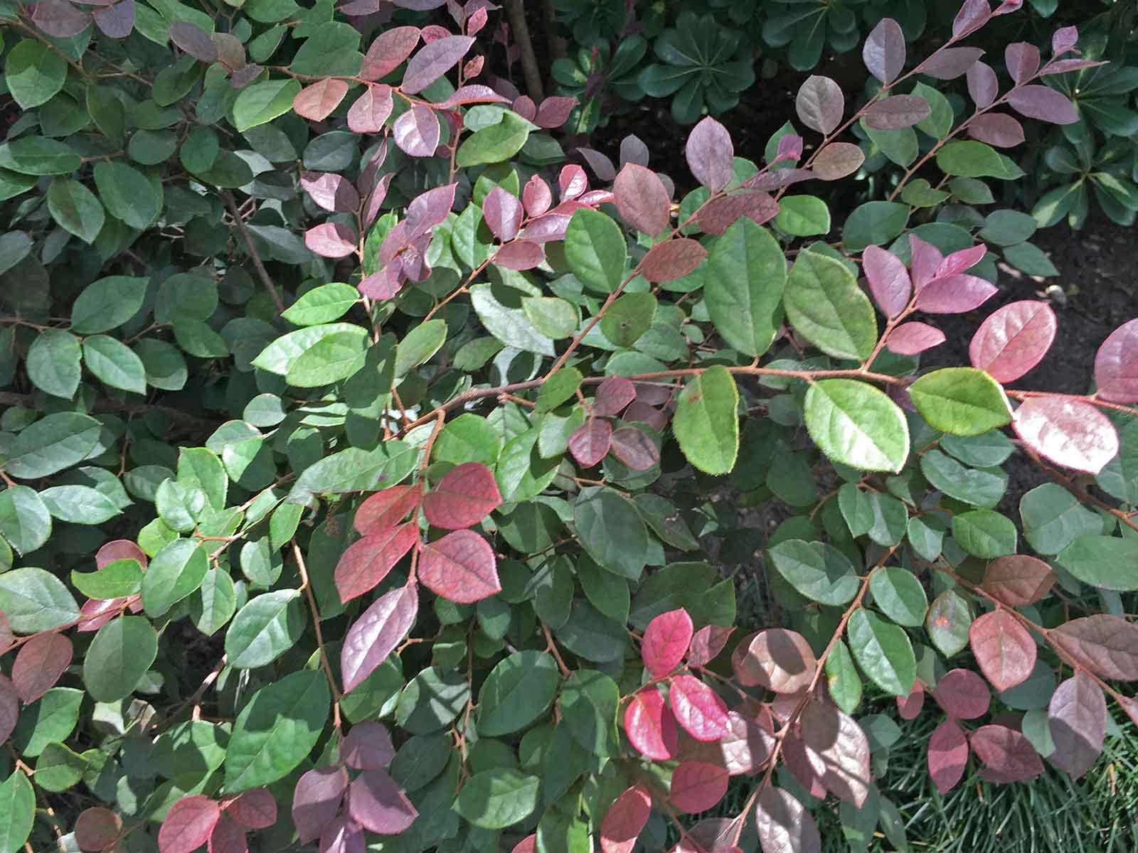 loropetalum-shrub