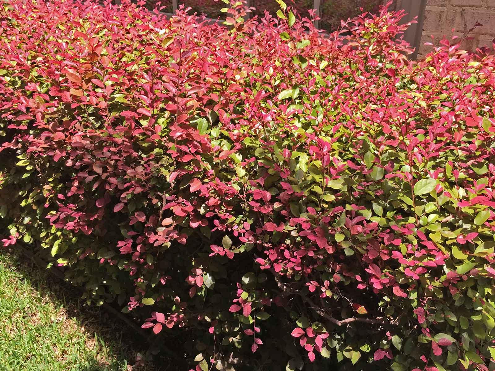 loropetalum-shrub-leaves