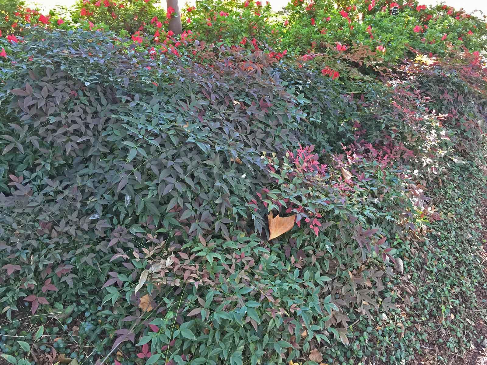 nandina-shrub