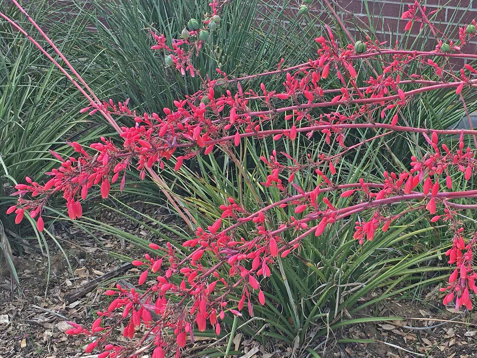 red-yucca