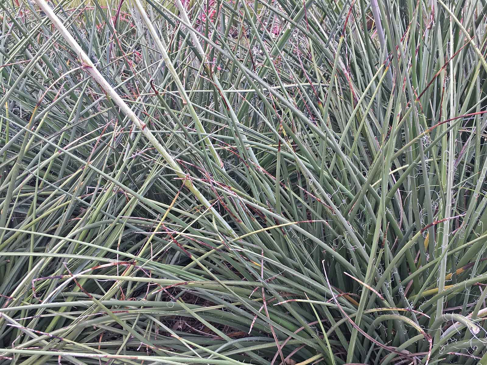 red-yucca-plants-for-dallas_4.jpg