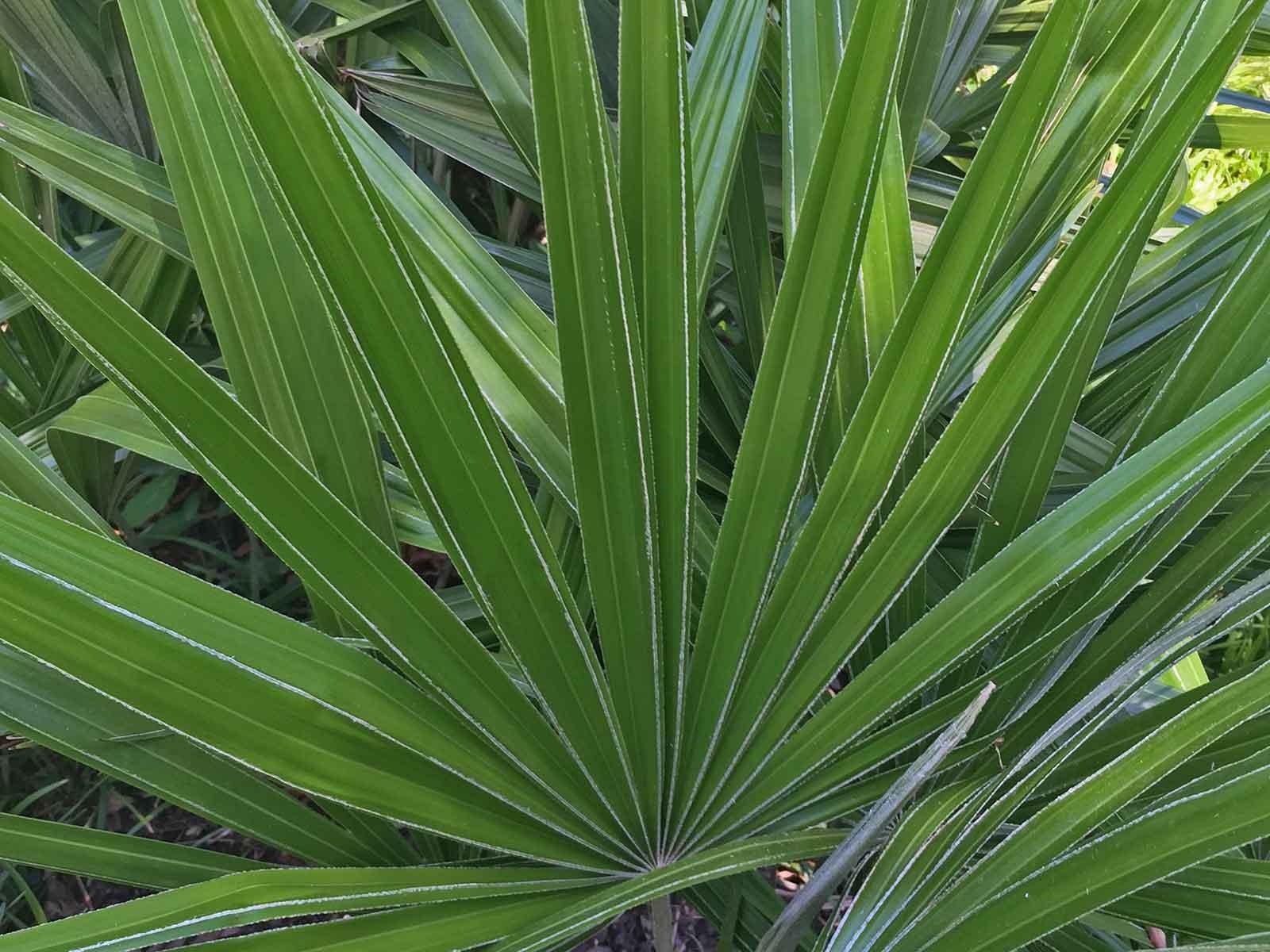 needle-palm