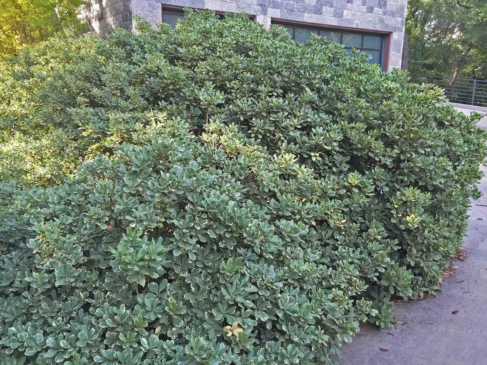 variegated-pittosporum