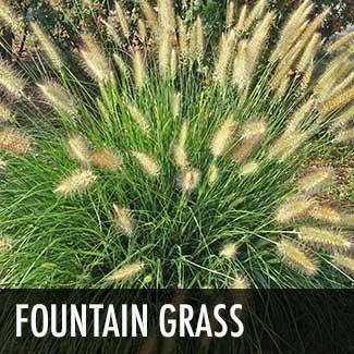 fountain-grass
