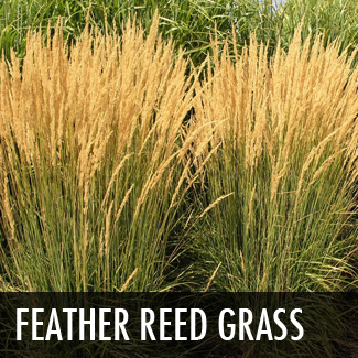 feather-reed-grass