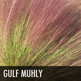 gulf-muhly-grass
