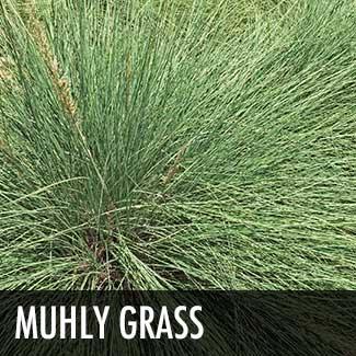 muhly-grass