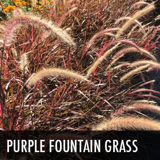 purple-fountain-grass