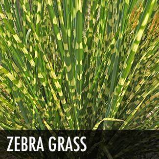 zebra-grass