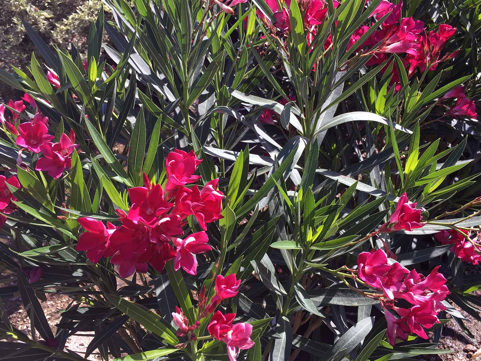 oleander-shrub-photo-red-bloom