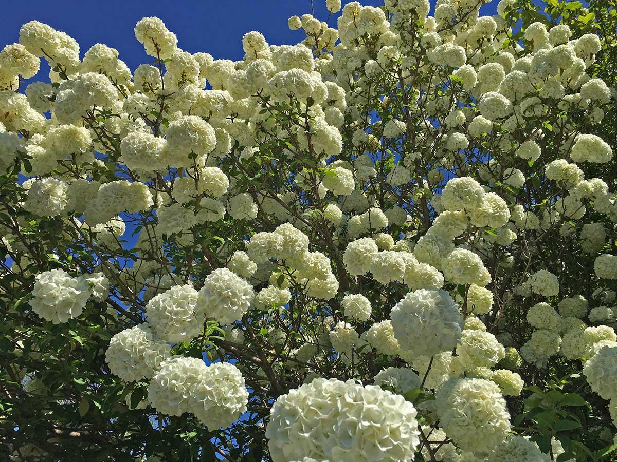 snowball-viburnum-spring-blooms