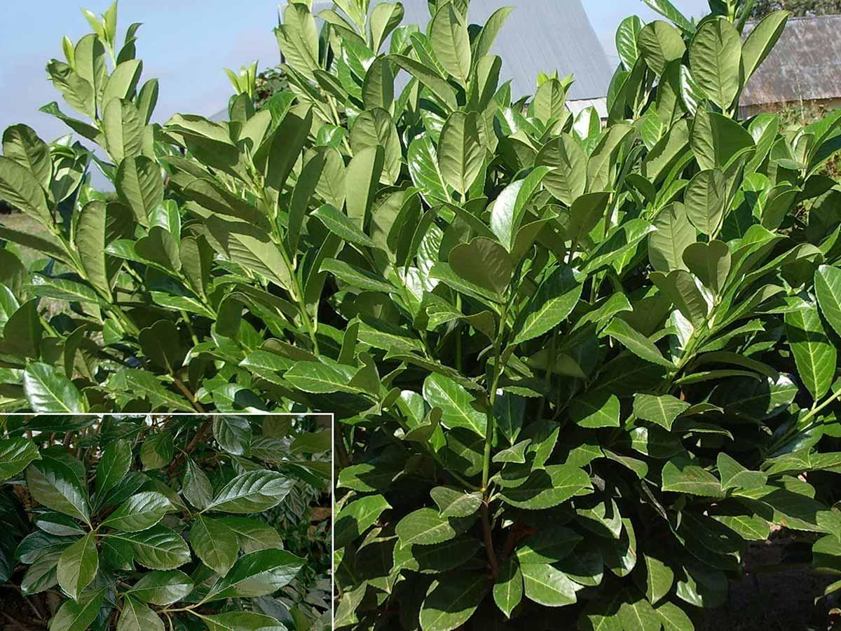 sweet-chindo-viburnum-leaves