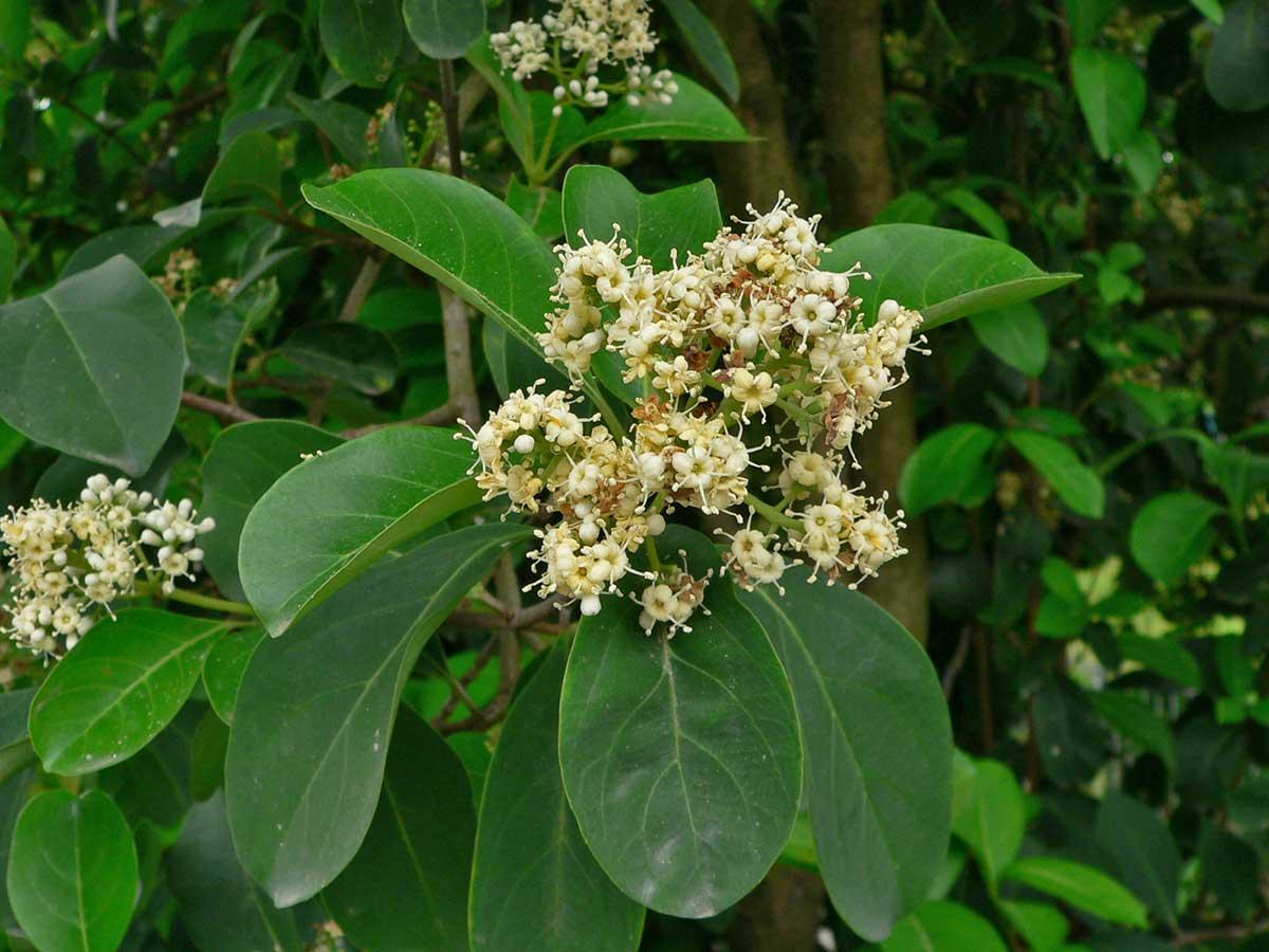 sweet-chindo-viburnum-spring-bloom