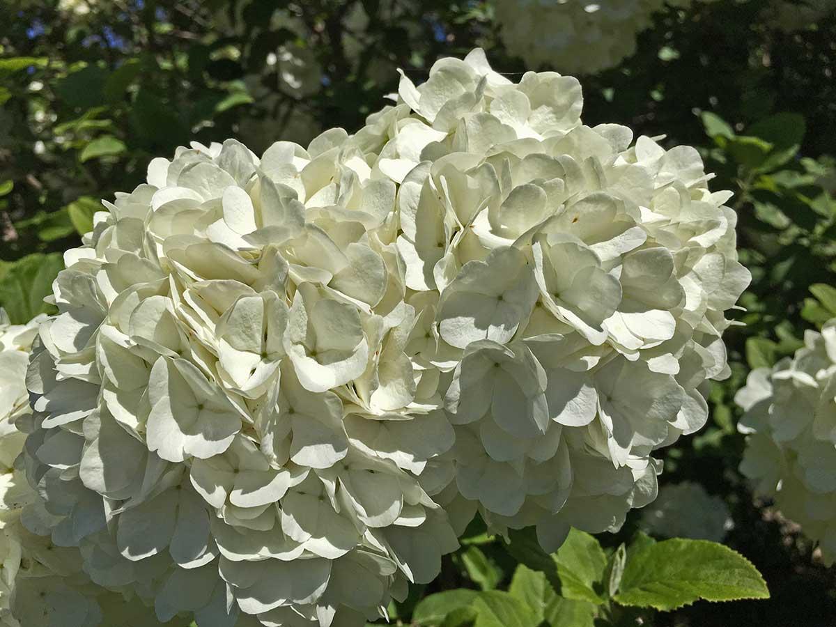 snowball-viburnum-spring-flower-bloom