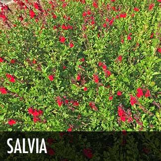 salvia-plant