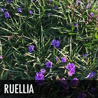 ruellia-plant