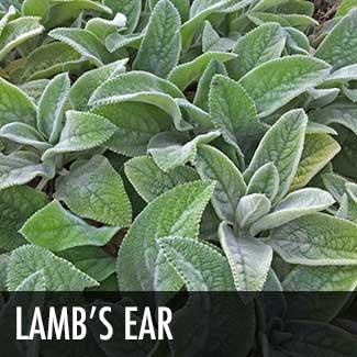 lambs-ear